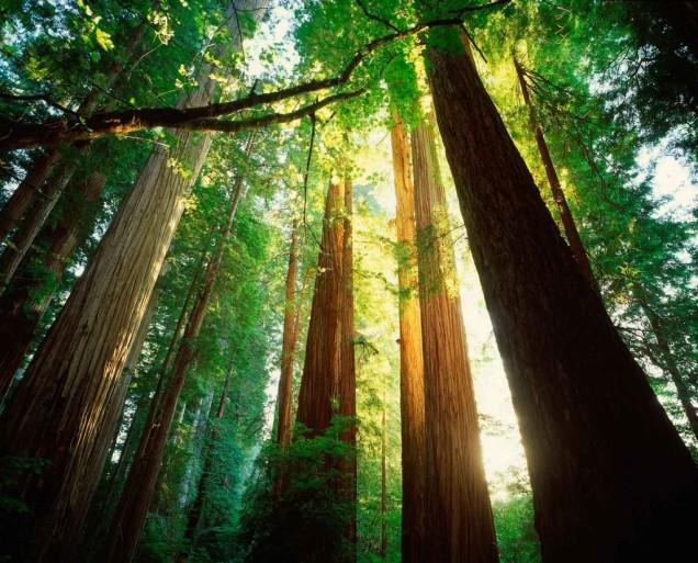 cbp0002586-california-redwoods-optimized_1024x1024-1
