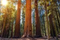 Sequoia vs Man:sequoia, forest, giant sequoia, men, male, tourist,forestry, redwood, trees, tree, plant, specie, california, nature, natural, above, ancient, national park, branches, tall, tallest, bark, cork, sierra nevada, usa, hiking, hike, american, america, united states, pine, horizontal,destination, recreation, looking, watch,watching,view,up