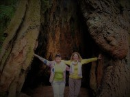 Redwood Embrace